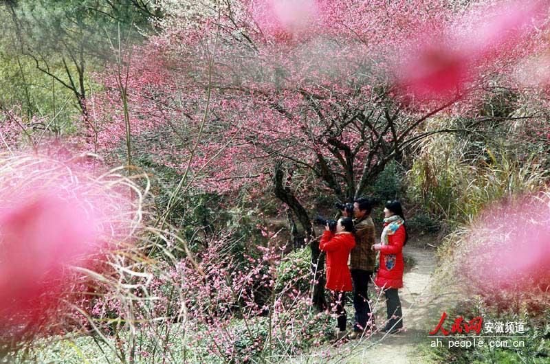 当日春光明媚,休宁县海阳镇方圆十里的金佛山上万株红梅吐蕊争春,漫