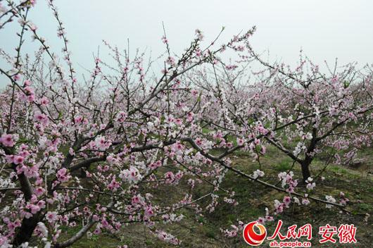 长丰·陶楼开启第八届桃花节:千亩桃花 十里飘香