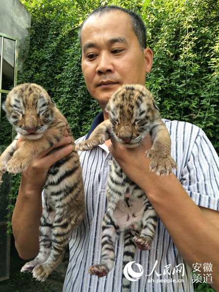 两只老虎歌儿歌视频_美国女子在自家后院圈养两只孟加拉虎当爱宠
