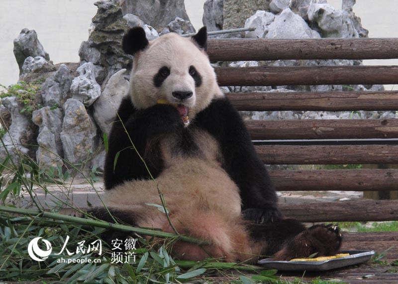 壁纸 大熊猫 动物 800_571