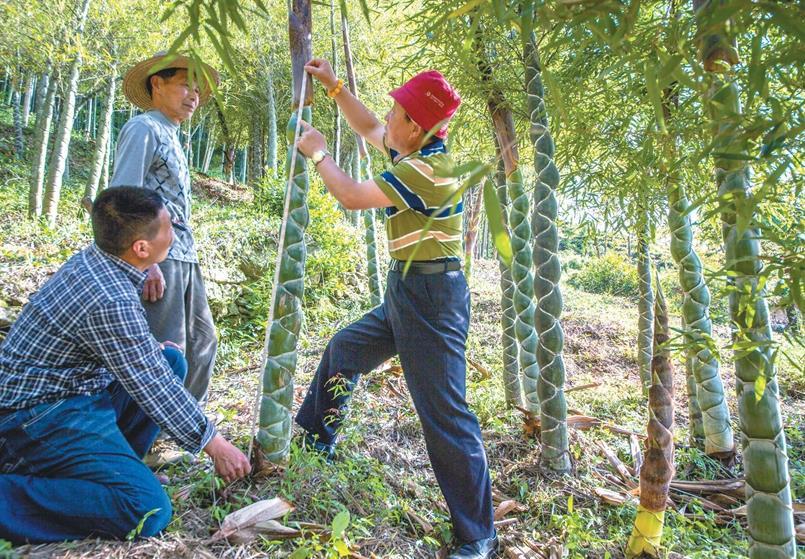 金寨���[竹成林了