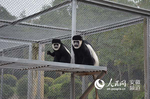 合肥野生动物园新添五只黑白疣猴(图)