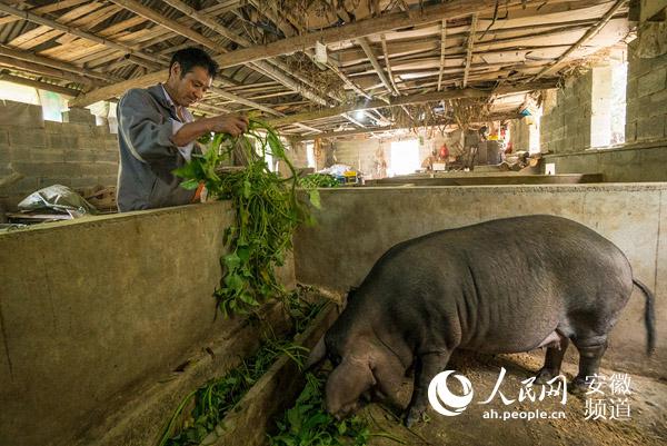 村民葛传锦兴办了小型养猪场