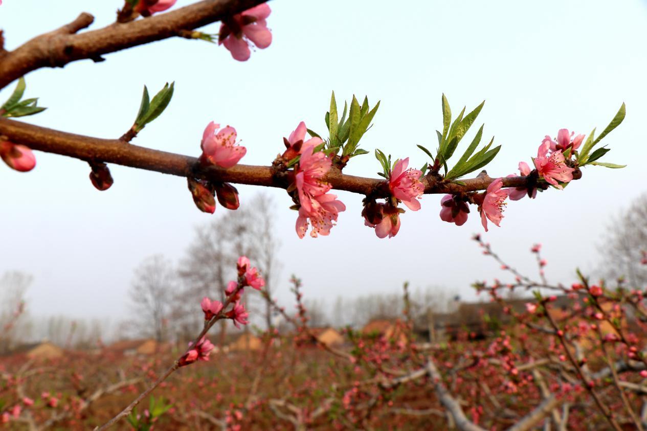 目前,该村种植果树面积200多亩,种植有杏树,桃树,梨树,苹果树等10多个