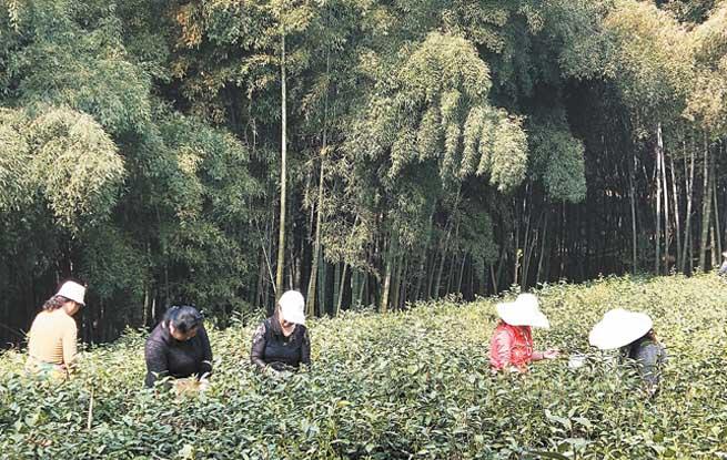 """抢采""""明前茶"""""""