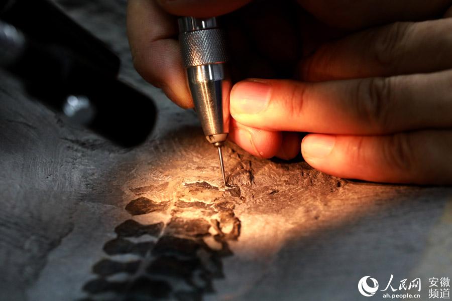 随着探针转动,2亿多年前的鱼龙骨骼化石在修复师黄发忠的手下慢慢显现出来