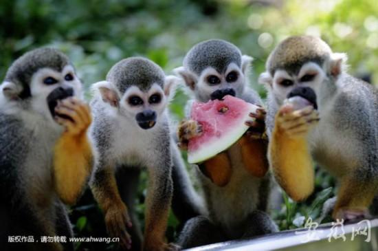 围着冰块吃西瓜 动物避暑有妙招