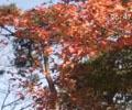 九华山秋色渐浓秋游渐火        随着气温的逐步降低,海拔一千多米的九华山天台、花台等景点,各种树叶也开始泛红泛黄,渐浓的秋色也带火了景区旅游。