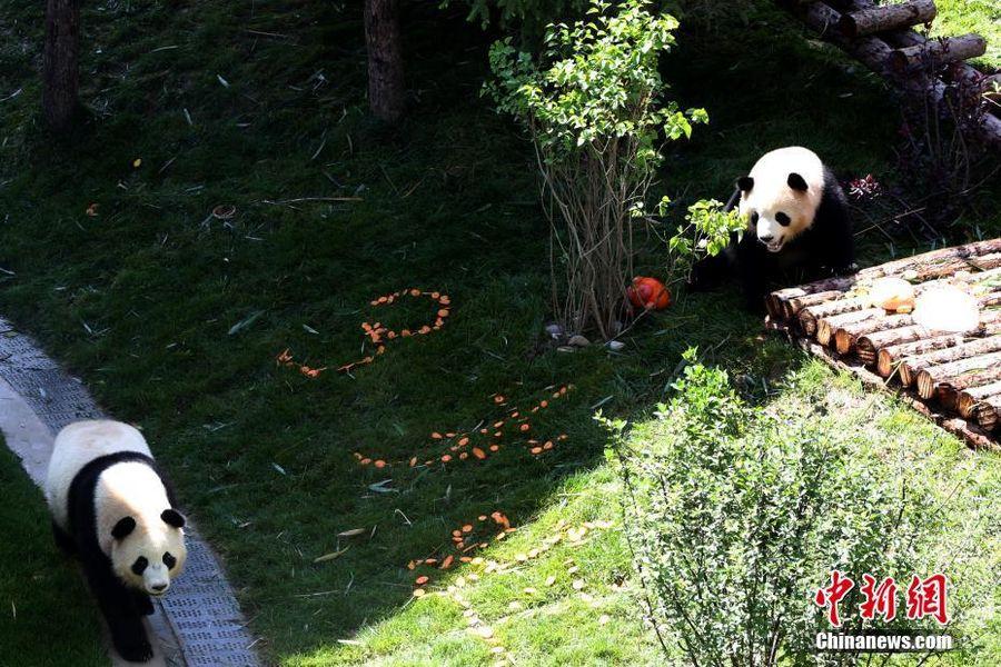 大熊猫在青藏高原迎来首个生日