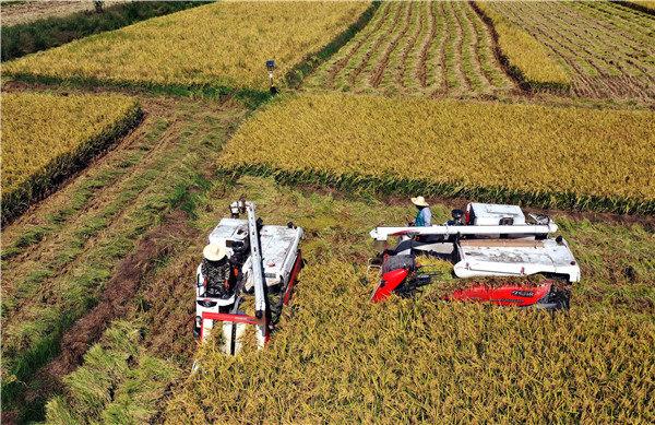 安徽庐江:10万亩稻虾共养 中稻开镰收割