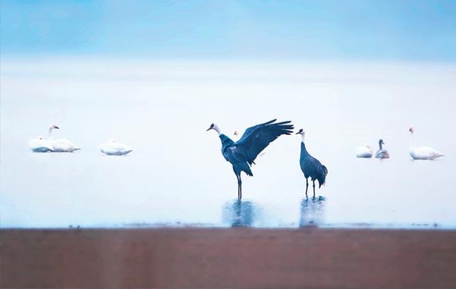 世界濒危鸟类白头鹤今年首次现身合肥