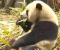 """地震来了 熊猫5秒上树        地震来临瞬间,熊猫基地的游客发现,平时慢吞吞的大熊猫 一改往日慵懒形象""""瞬间上树"""",极强""""求生欲""""惊呆网友。"""