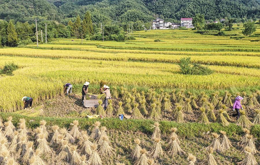 传统农耕模式中的打稻谷。江建兴摄